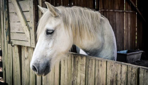white horse in barn