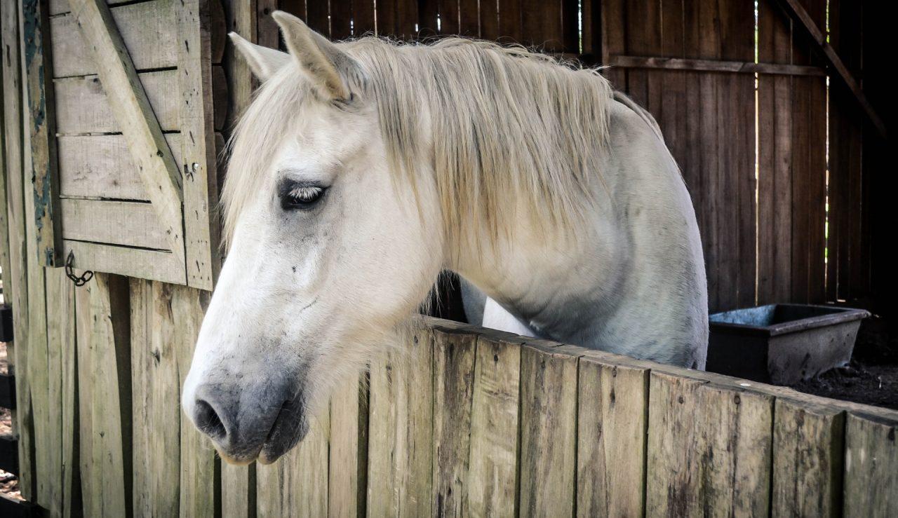 white horse in barn