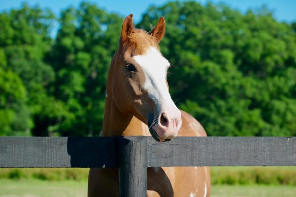 young horse on pasture