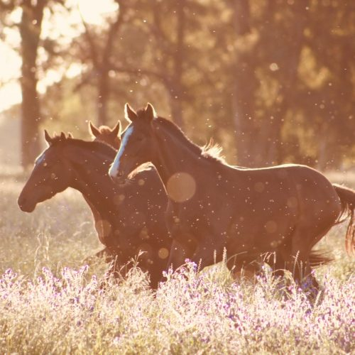 horses riding in field